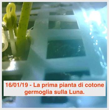 Luna: germoglio di pianta di cotone.